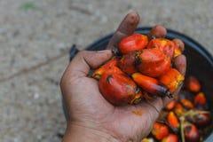 Vers palmoliefruit stock fotografie