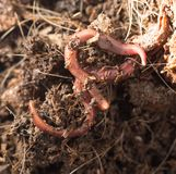 Vers rouges en compost - amorce pour la pêche Photographie stock