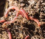Vers rouges en compost - amorce pour la pêche Images libres de droits