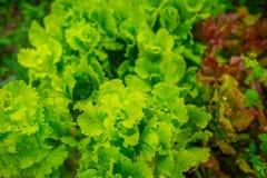 Vers salade in de handen van de landbouwer, het plukken verse salade van moestuin stock foto's