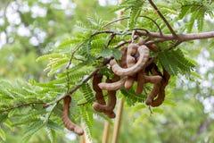 Vers tamarindefruit en blad op boom in tropisch Tramarind als smaakstof in het Aziatische koken wordt gebruikt die stock foto's