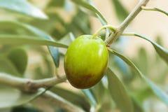 Vers Turks Egeïsch olijfzaad op aard, groene ruwe olijfboomtak, olijfachtergrond stock foto