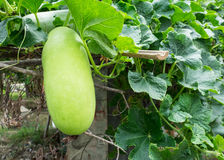 Vers van groene de Wintermeloen op de boom Royalty-vrije Stock Foto