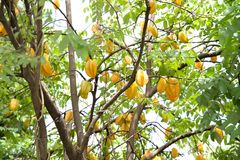 Vers van sterappel op de boom Stock Afbeeldingen