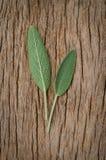 Vers wijs blad op rustieke houten achtergrond Sage Benefits Anti Stock Fotografie