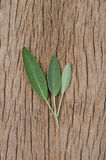 Vers wijs blad op rustieke houten achtergrond Sage Benefits Anti Royalty-vrije Stock Afbeeldingen