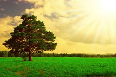 Verschönern Sie Baum auf dem Feld unter blauem Himmel landschaftlich Stockfotografie