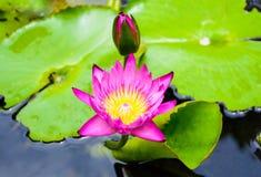 Verschönern Sie Lotus-Blume für Hintergrund Stockbilder