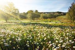 Verschönern Sie mit Gänseblümchen landschaftlich Stockfoto