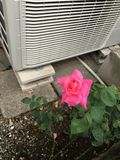 verschönern Sie sehr Rosafarbenes Stockfoto