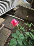 verschönern Sie sehr Rosafarbenes Stockfotografie