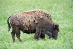 Verschütten des Bisons Lizenzfreie Stockbilder