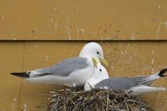 Verschachtelungs-Dreizehenmöwevögel stockfotografie