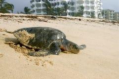 Verschachtelungs-Leder-Rückseiten-Seeschildkröte Stockfotos