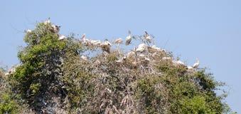 Verschachtelungs-Pelikane Stockfoto