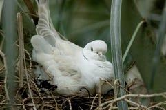 Verschachtelungs-Schildkröte-Taube Lizenzfreies Stockbild