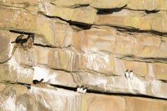 Verschachtelungs-Seevögel Lizenzfreie Stockfotos