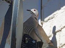 Verschachtelungssatelliten-Taubenvogel Lizenzfreie Stockfotos