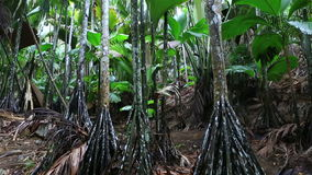 Verschaffeltia splendida in Vallee de Mai Nature. Reserve in Praslin. Seychelles stock footage