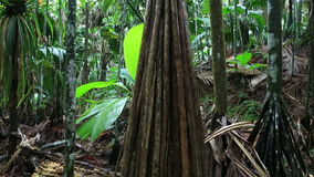 Verschaffeltia splendida in Vallee de Mai Nature. Reserve in Praslin. Seychelles stock video footage