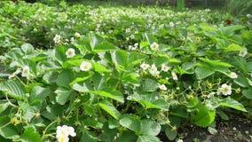Verscheidene aardbei bloeit aard op de stam stock videobeelden