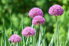Verscheidene Alium-bloemen in de weide Stock Afbeelding