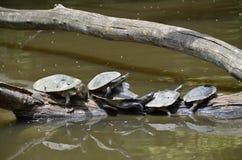 Verscheidene aquatische schildpadden die in de zon zonnebaden Royalty-vrije Stock Afbeeldingen