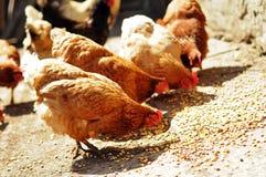 Verscheidene bewerken kippen die graan in platteland eten Royalty-vrije Stock Afbeelding