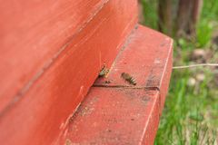 Verscheidene bijen bij de ingang van bijenkorf in bijenstal Sluit omhoog mening van de het werk bijen royalty-vrije stock foto