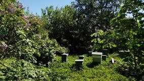 Verscheidene bijenkorven met bijen bevinden zich in tuin stock videobeelden