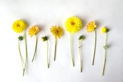 Verscheidene dahliabloemen en knoppen liggen op een rij op een witte backgrou Stock Afbeelding