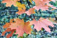 Verscheidene de herfstesdoorn gaat op een boomtak rood en geel weg Royalty-vrije Stock Fotografie