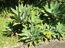 Verscheidene die Agave Attenuata, een droog-seizoen sierplant in tuinen wordt gebruikt royalty-vrije stock afbeelding