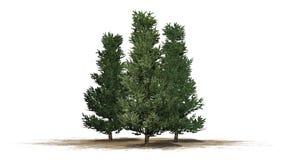 Verscheidene diverse Fraser Fir-bomen stock illustratie