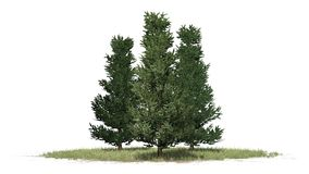 Verscheidene diverse Fraser Fir-bomen vector illustratie