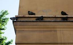 Verscheidene duiven die op richel een huis zitten stock afbeelding