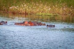 Verscheidene Hippos die van het water genieten Stock Foto's