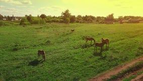 Verscheidene jonge mooie paarden weiden omhoog in de avond op een weide bij gele rode zonsondergang, luchtmeningsvlieg rond en stock video