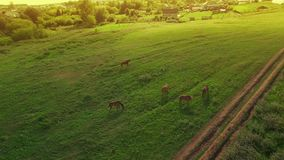 Verscheidene jonge mooie paarden weiden omhoog in de avond op een weide bij gele rode zonsondergang, luchtmeningsvlieg rond en stock footage