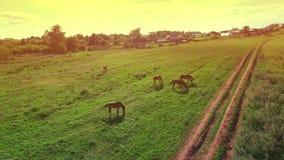 Verscheidene jonge mooie paarden weiden rond in de avond op een weide bij gele rode zonsondergang, luchtmeningsvlieg stock video