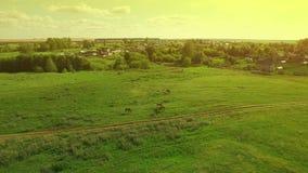 Verscheidene jonge mooie paarden weiden weg in de avond op een weide bij gele rode zonsondergang, luchtmeningsvlieg rond en stock footage