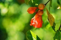 Verscheidene kleine rode granaatappel bloeien op boom royalty-vrije stock foto