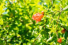 Verscheidene kleine rode granaatappel bloeien op boom stock foto
