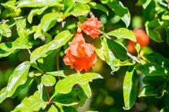 Verscheidene kleine rode granaatappel bloeien op boom royalty-vrije stock foto's