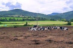 Verscheidene koeienhoogten royalty-vrije stock afbeelding