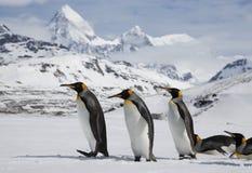Verscheidene Koningspinguïnen in verse sneeuw op Zuiden Georgia Island royalty-vrije stock fotografie