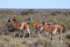 Verscheidene lama's onder de struiken royalty-vrije stock afbeeldingen