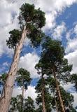 Verscheidene lange die pijnboombomen van onderaan het bereiken naar een bewolkte blauwe hemel worden gezien Royalty-vrije Stock Afbeeldingen