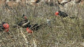Verscheidene mannelijke frigatebirds die in de galalagoseilanden nestelen royalty-vrije stock afbeelding