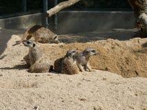 Verscheidene meerkats in de dierentuin, die op zand zitten stock afbeeldingen